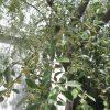 ロシアンオリーブの花